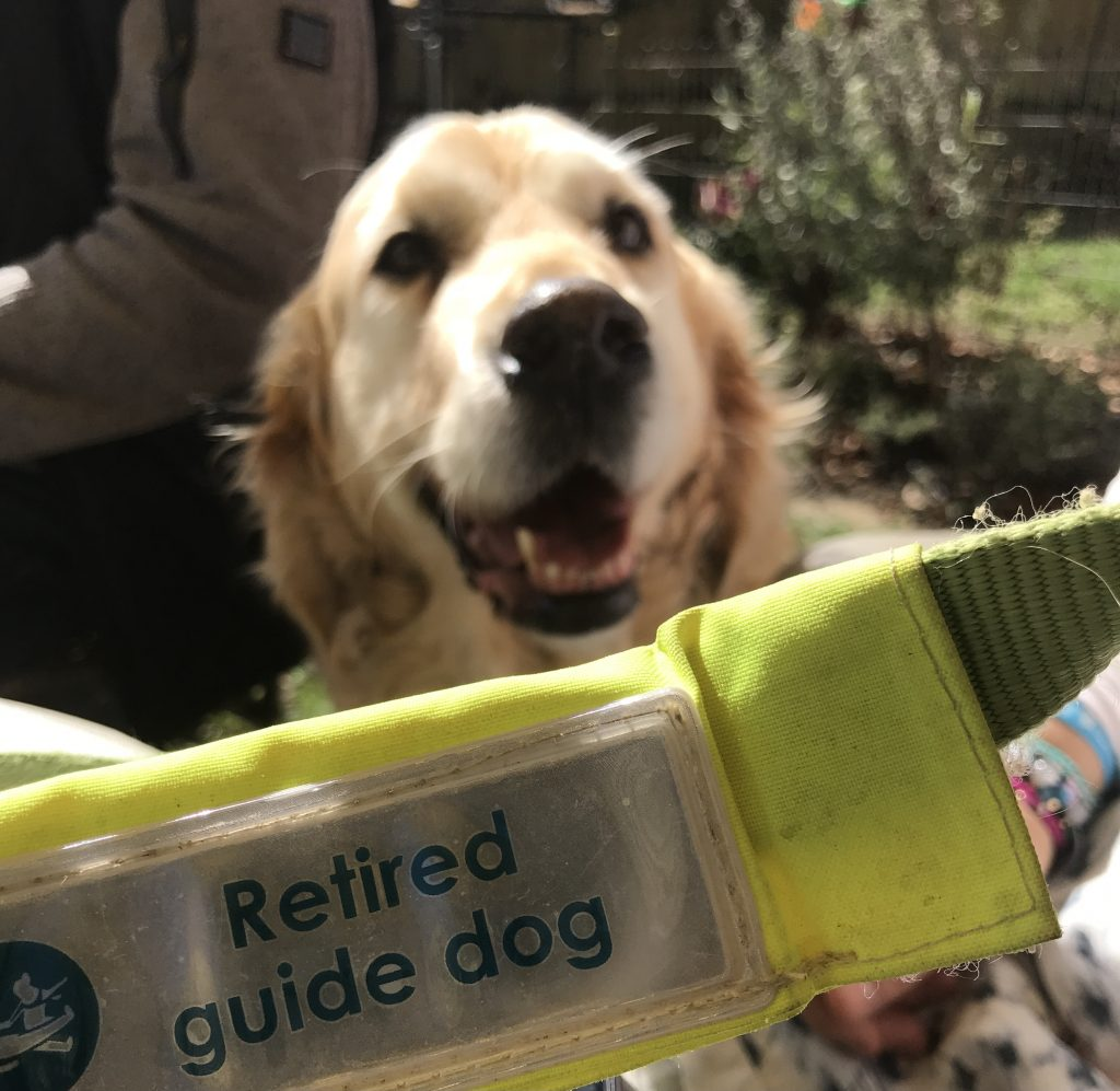 Breck the guide dog and official Retired Dog collar