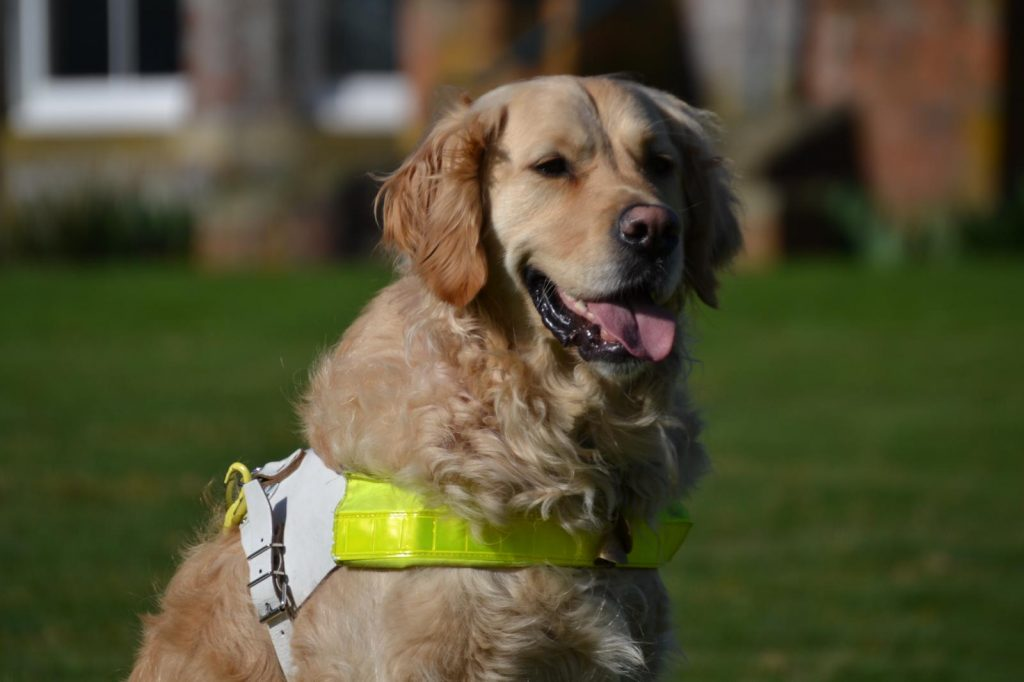 Golden retriever Breck, seated, in his guiding harness
