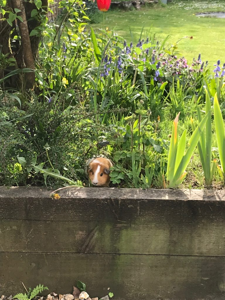 A tan and white guinea pig peers over a flowerbed made of railway sleepers