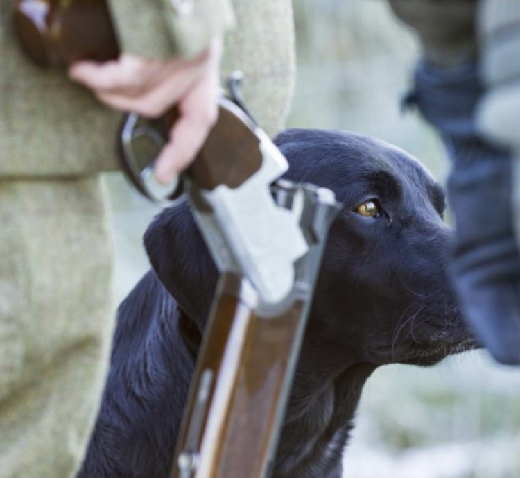 Drakehe black labrador looks to the right of a cocked gun in the hand of a man dressed in shooting tweeds