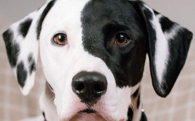 Close up professional photograph of Alife the half patched dalmatian
