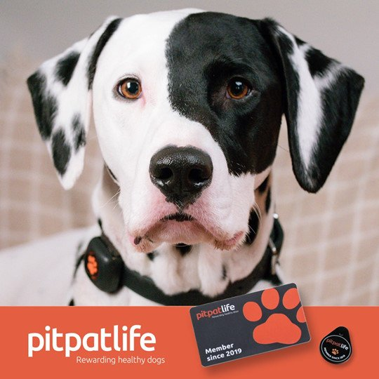Professional advertisement for pitpatlife, the dog exercise tracker, featuring Alfie the dalmatian staring at camera looking alert